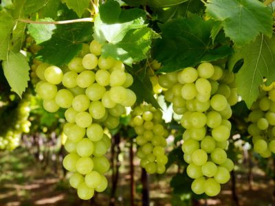 merselfood_table_grapes_green_01